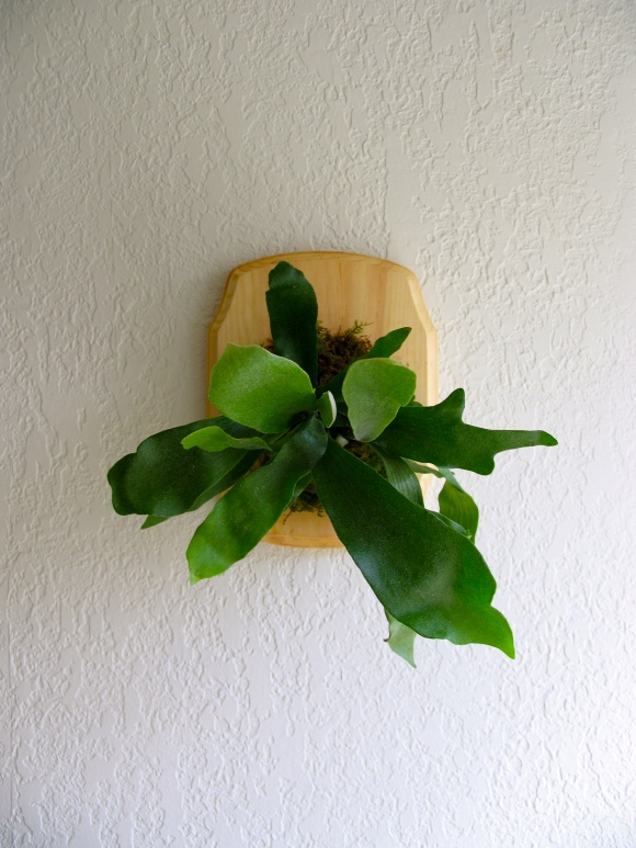 Staghorn Fern tutorial on ecospired.com
